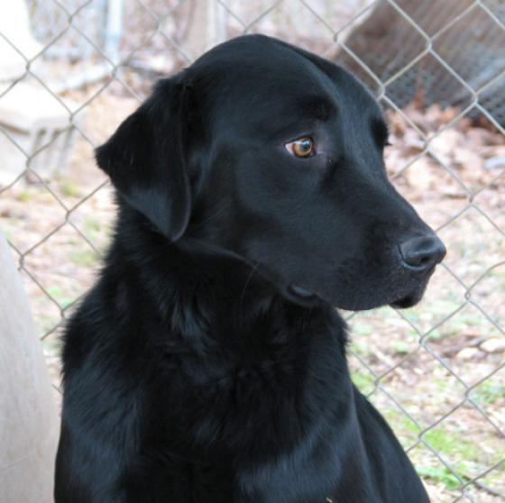 big black dogs 171 homeward trails animal rescue pet