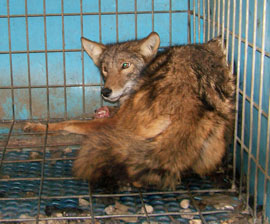 Terrified foxes are rounded up from the wild, caged and then let go to be mauled by dogs in an enclosed area all in the name of human recreation. (photo courtesy of HSUS)