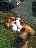 Pumpkin and her 8 pups arrived via plane to HT!