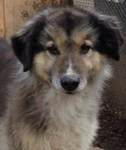 collie mix russia