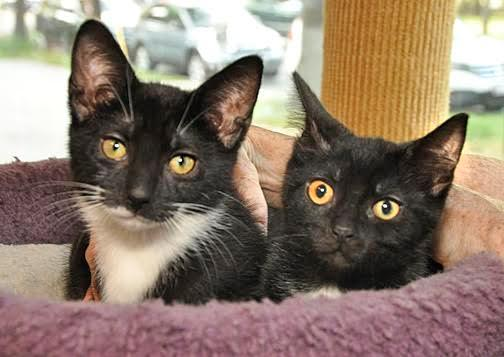 cat pregnancy stages physical changes