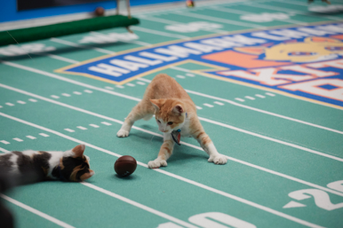 Kitten Bowl Image